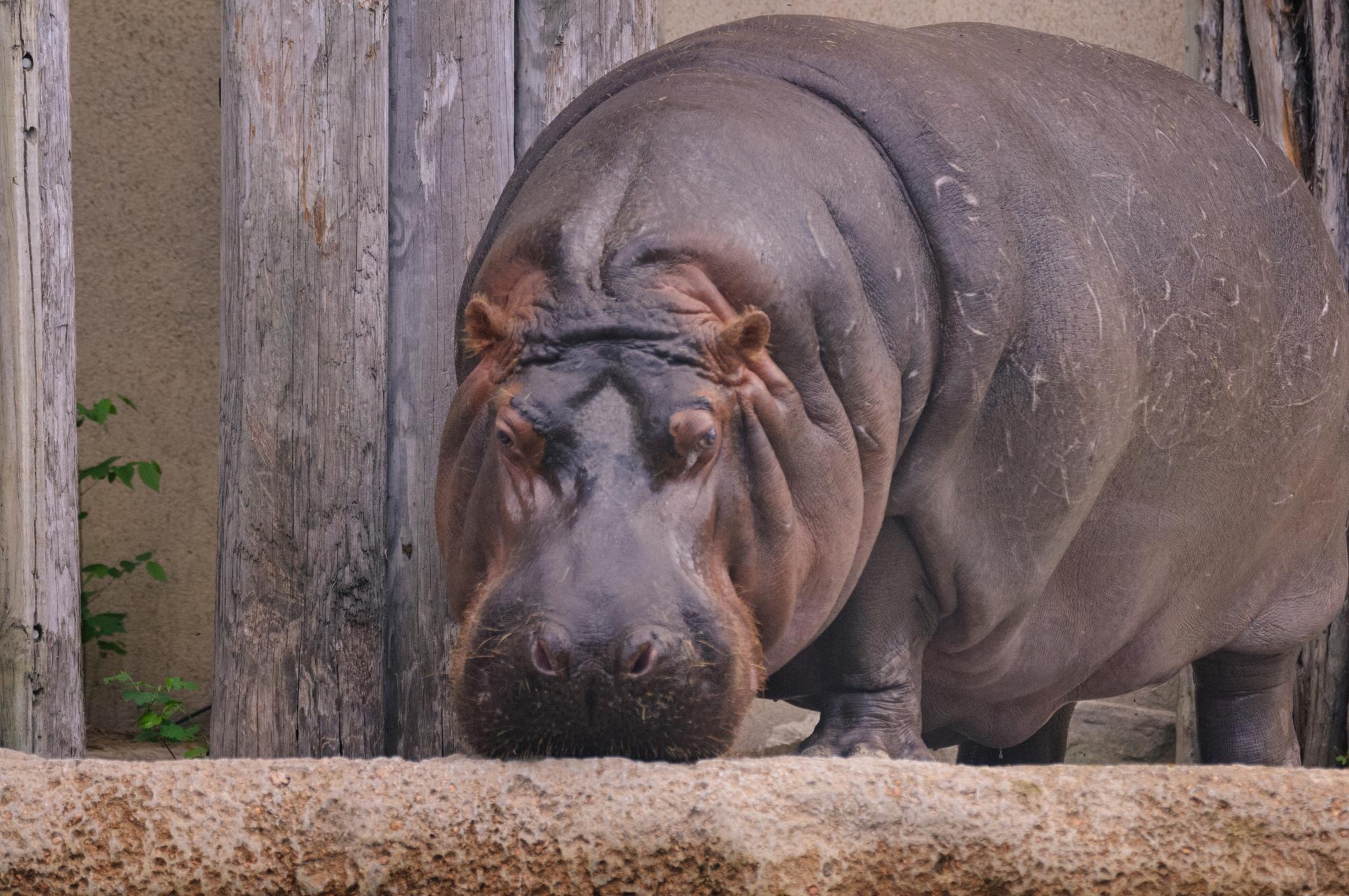 Very_Fat_Hippo_(18880507541).jpg